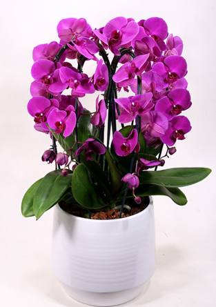 Virágposta - Lila orchideák - óriás orchidea összeültetés