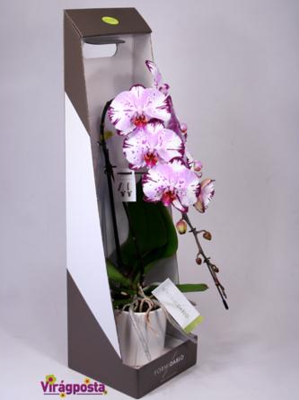 Virágposta -  Formidablo - különleges orchidea díszdobozban