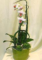 Virágposta - Phalenopsys orchidea kaspóban
