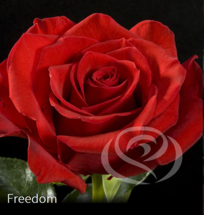 Virágposta - Freedom - Vörös Rózsa csokor Virágküldés