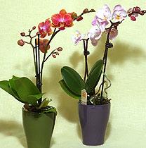 Virágposta - Orchideák, mini orchideák...