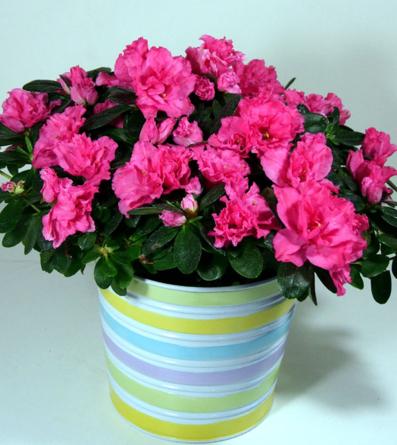 Virágposta - Virágzó azálea kaspóban