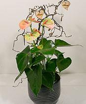 Virágposta - Különleges anthurium modern kaspóban