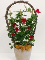 Virágposta - Óriás tölcsérjázmin, szereleminda (dipladénia)