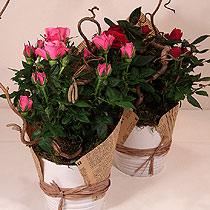 Virágposta - Minirózsa kerámia kaspóban, vintage díszítéssel